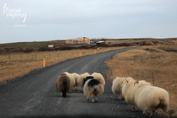 ovejas en una carretera cerca de Urridafoss