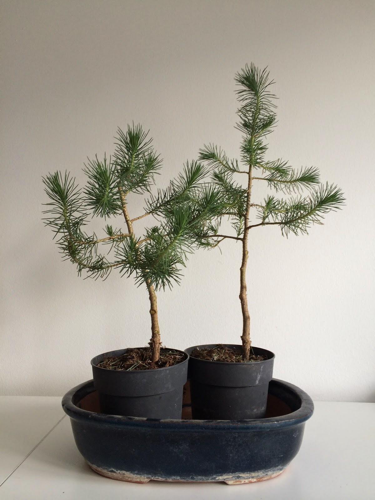 NORDIC NEBARI By Kenneth Olsen Furture Bonsai Twin Trunk Pine