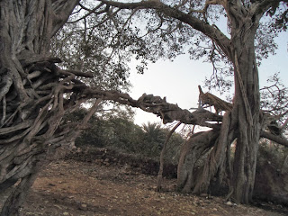 Banyan trees near Ranthambore tiger sanctuary entrance