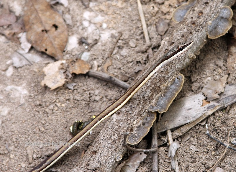 Slender African Beauty Snake in Gambia
