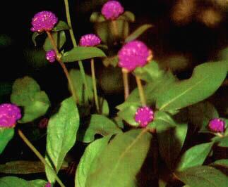 Bunga Knop, Herba Tahunan Yang Cantik