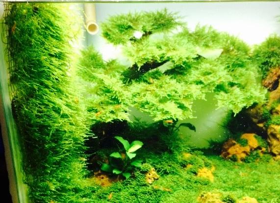 vĩ inox buộc rêu thủy sinh rất đẹp