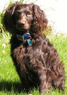 Boykin Spaniel Dog Picture