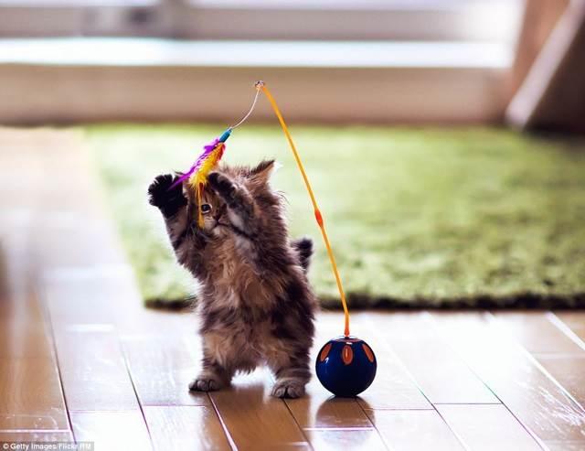 gelagat anak kucing main permainan