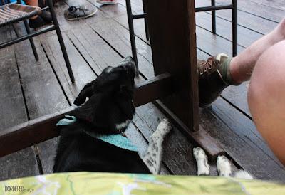 border collie having a nap under a table