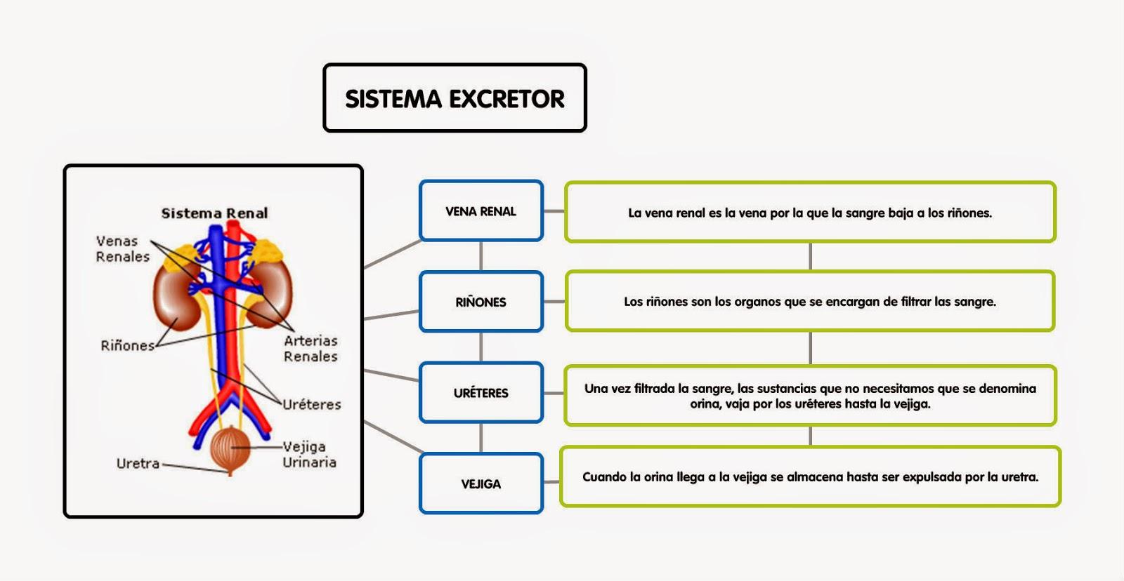 Vistoso El Diagrama Del Sistema Excretor Galería - Anatomía de Las ...