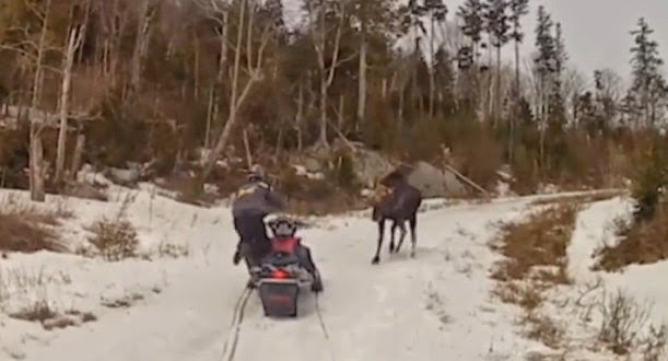 Moose Charges Snowmobile Maine