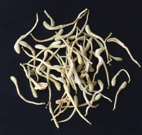 japanese honeysuckle flowers used in chinese herbal medicine to treat fevers