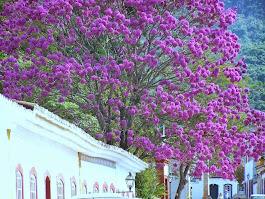 Uma árvore lilás