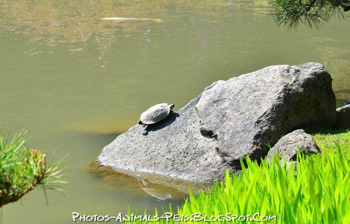 http://3.bp.blogspot.com/-wwEgYXN-6x0/Tt-Mk1wO38I/AAAAAAAACi8/EPAUI0ilYqQ/s1600/Turtle.jpg