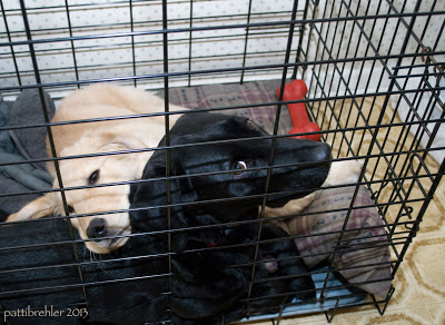 a black lab is lying in a large crate. She is looking back at the camera and you can see the whites in her eyes. A young golden retriever is lying next to her with his head resting on her back. He has sleepy eyes.