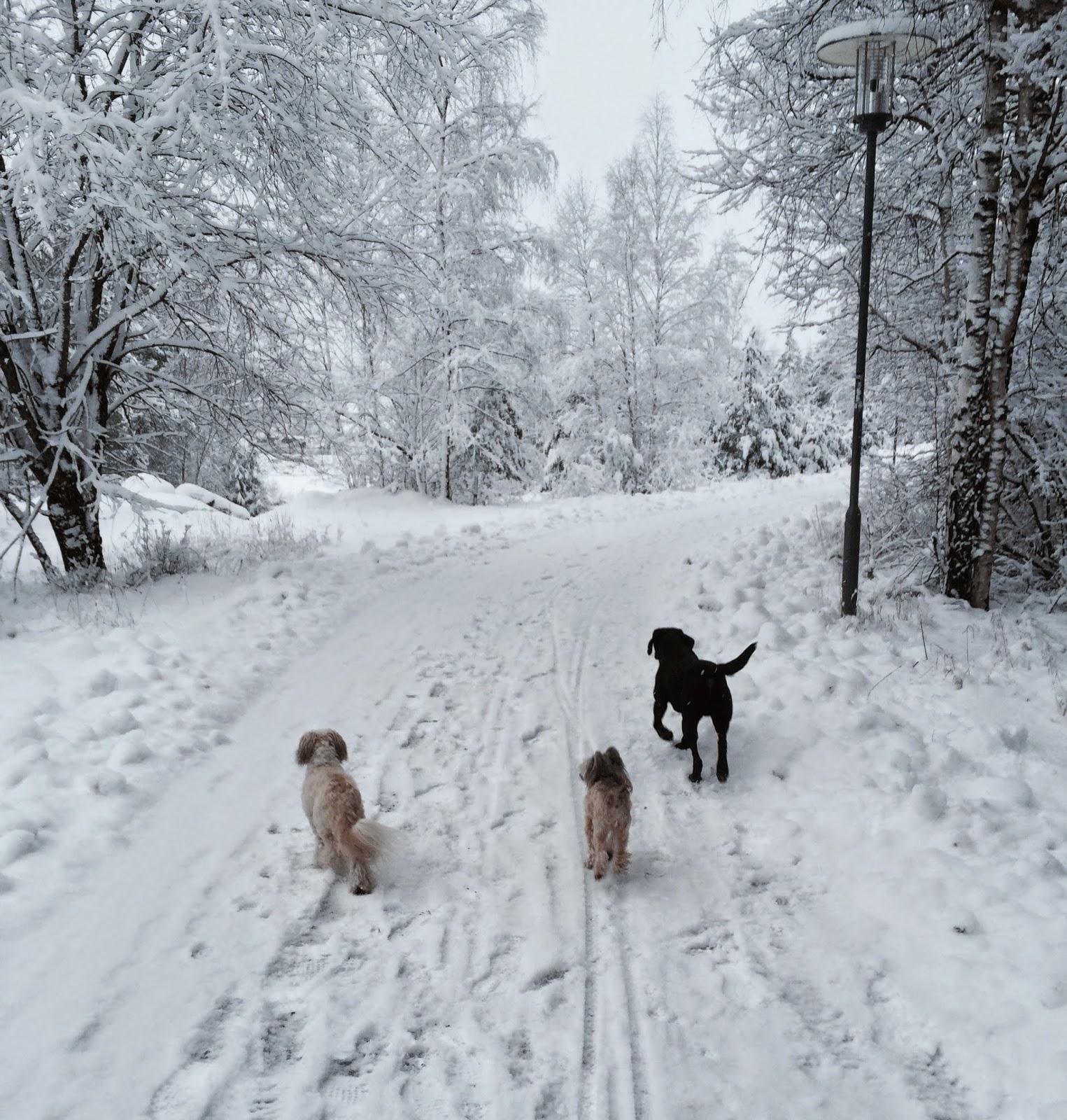 Två små hundar och en matte.: En av gårdagens promenader