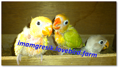 imamgresik.lovebird.farm