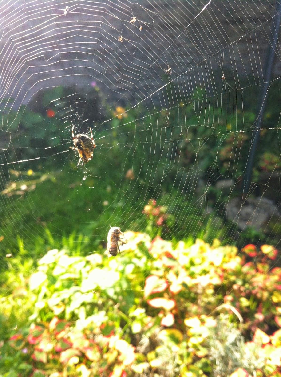 svart enke edderkopp