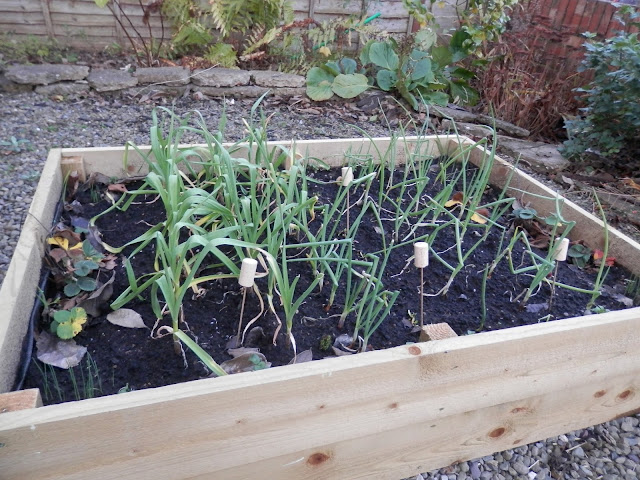Garlic and onions grown in raised bed.  My garden, January 2016. secondhandsusie.blogspot.co.uk #gardenblogger #ukblogger #gardening