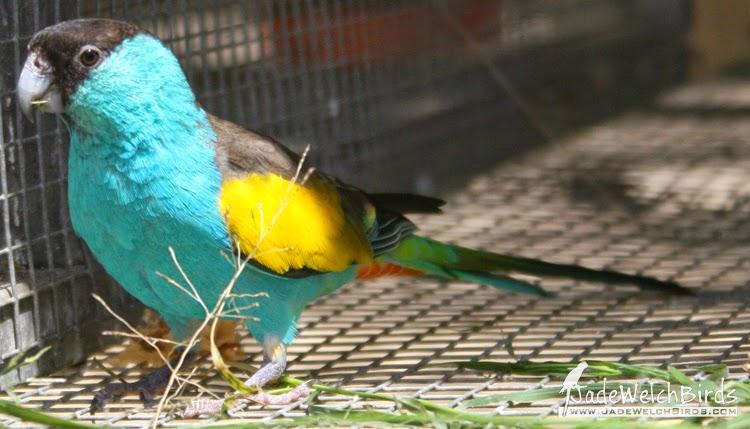 Hooded Parrot paradise parrot termite mound jadewelchbirds.com jade welch birds