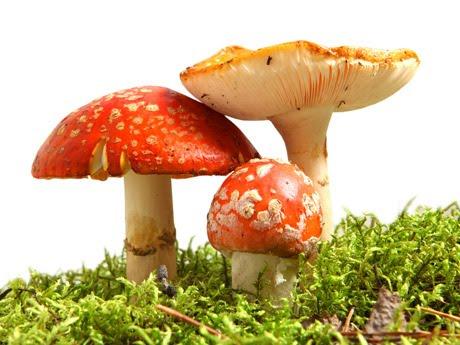 Plantas y flores plantas especies los hongos frutos for Hongos en las plantas de jardin