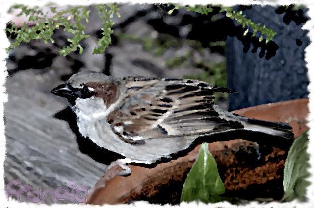 Gorrión comón (Passer domesticus) House Sparrow