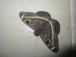 Juba moth