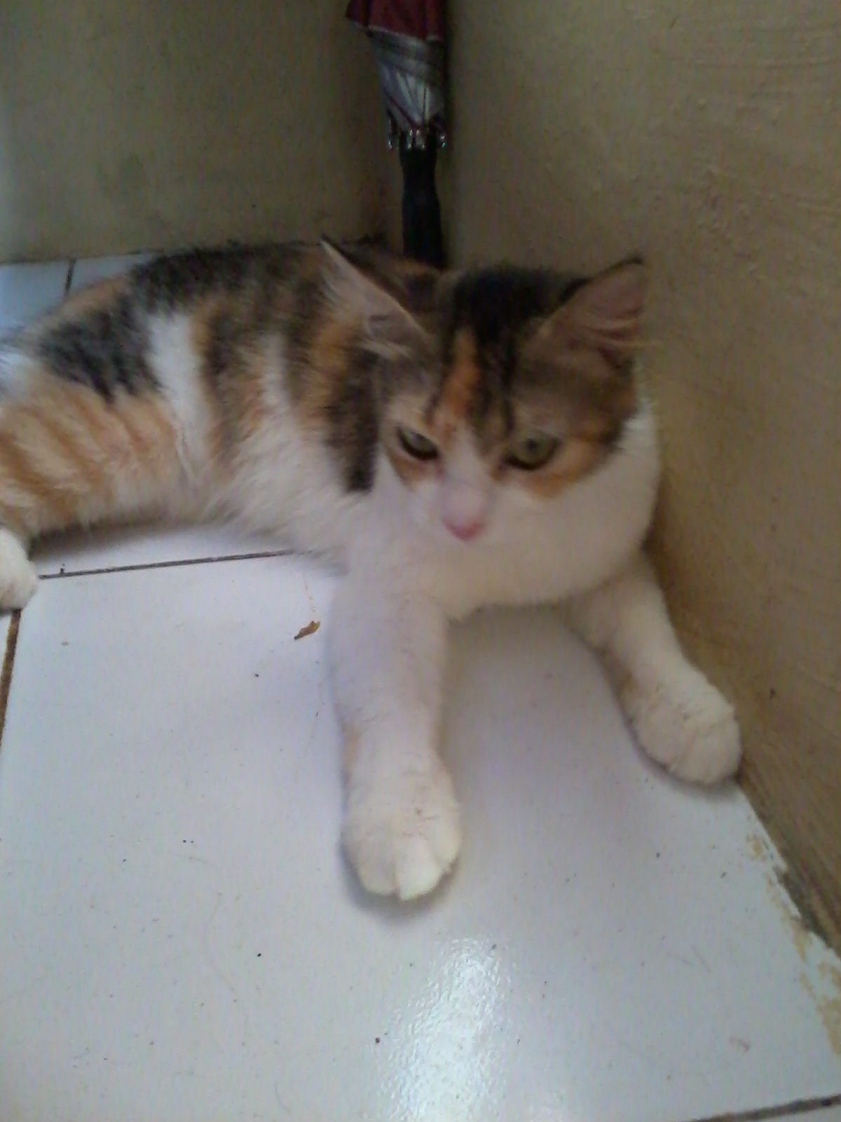 Suci Lady Kucing Kucing Ku