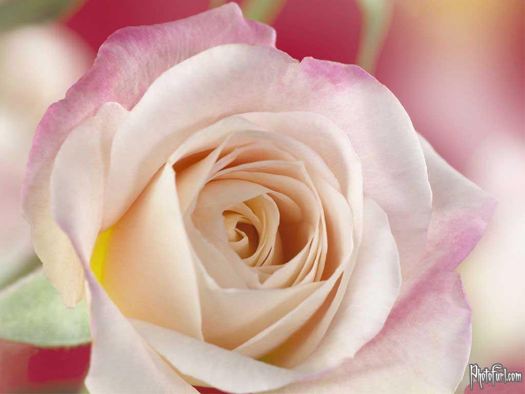 http://3.bp.blogspot.com/-wyYqboZBMEo/Ti0LCpHDhzI/AAAAAAAAAgU/ubZOP2DLDV8/s1600/latest_white_flower_wallpaper.jpg