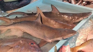 ikan hiu batam