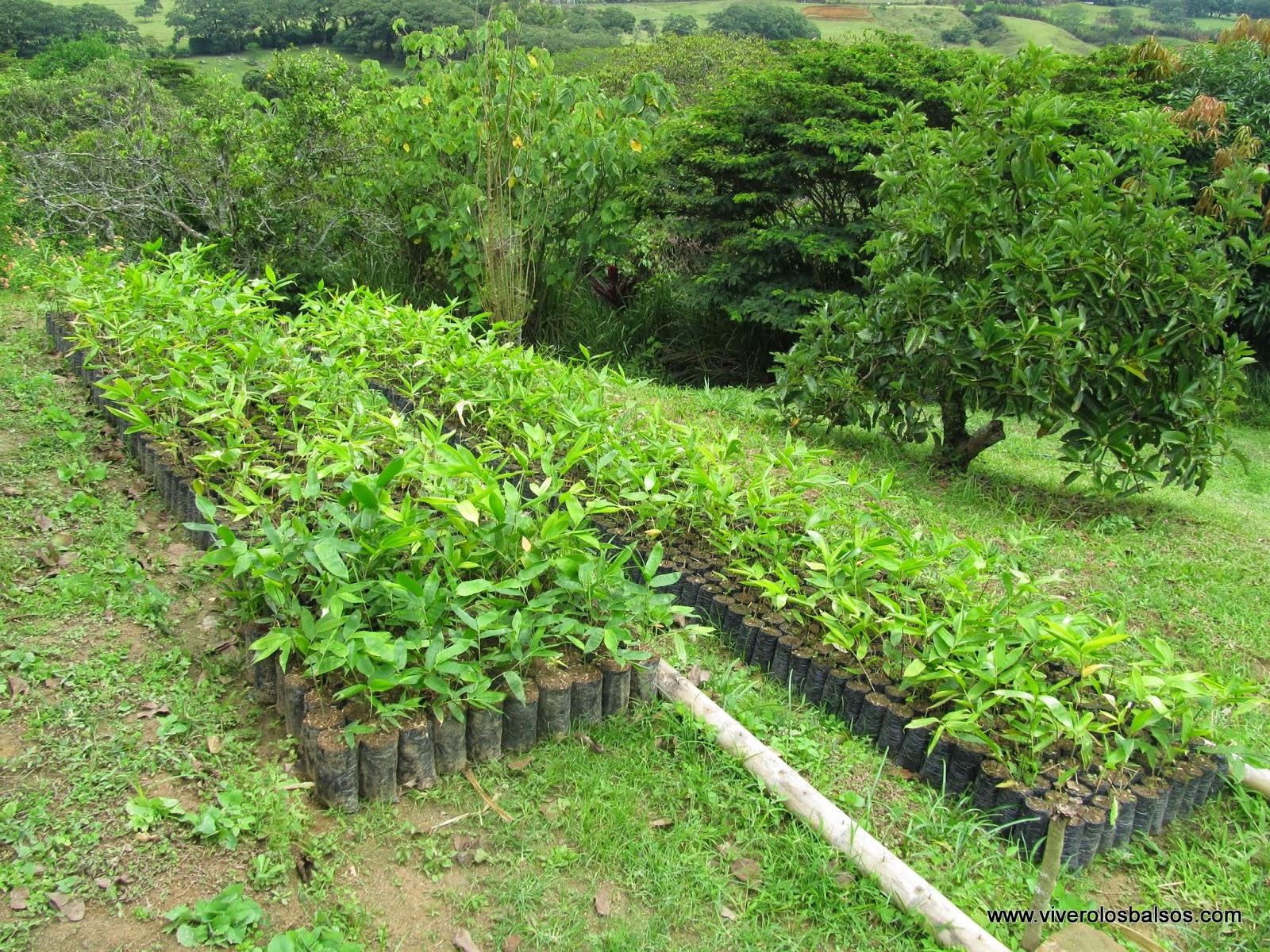 Vivero los balsos venta de semilla o plantulas de guadua for Viveros medellin