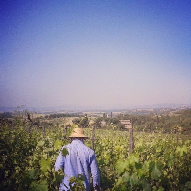 A vineyard worker in the midst of the vines in the Chianti Classico