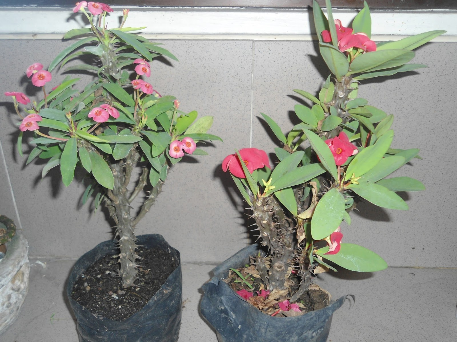 Weng zaballa new plants euphorbia milii for Crown of thorns plant