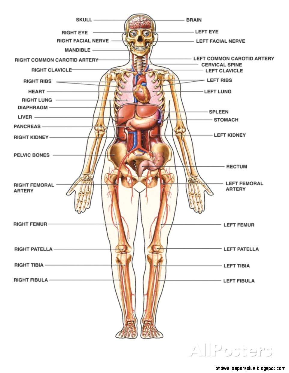Human anatomy chart organs no 688  Learn the Organs through