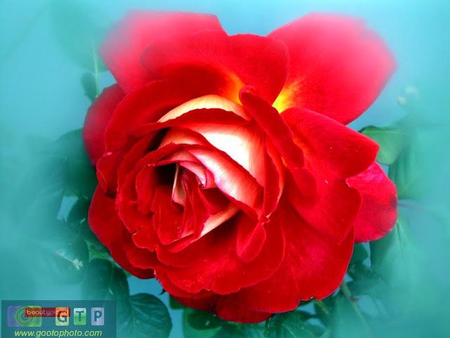 صور ورد احمر وردة جوري حمراء رائعة