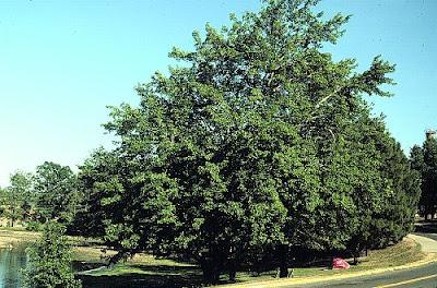arce rojo Acer rubrum
