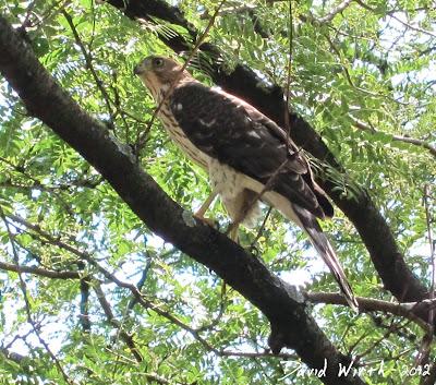 red tailed hawk in neighborhood subburb tree branch, hawk in tree, hawk eating rabbit