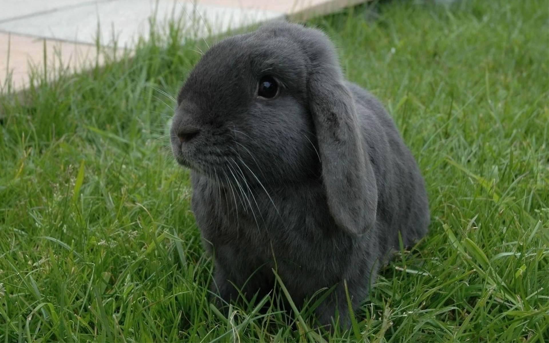 Love Wallpaper: Black Rabbit in Grass