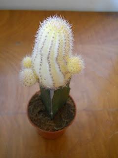 cactus amarillo Lovibia silvestri aurea
