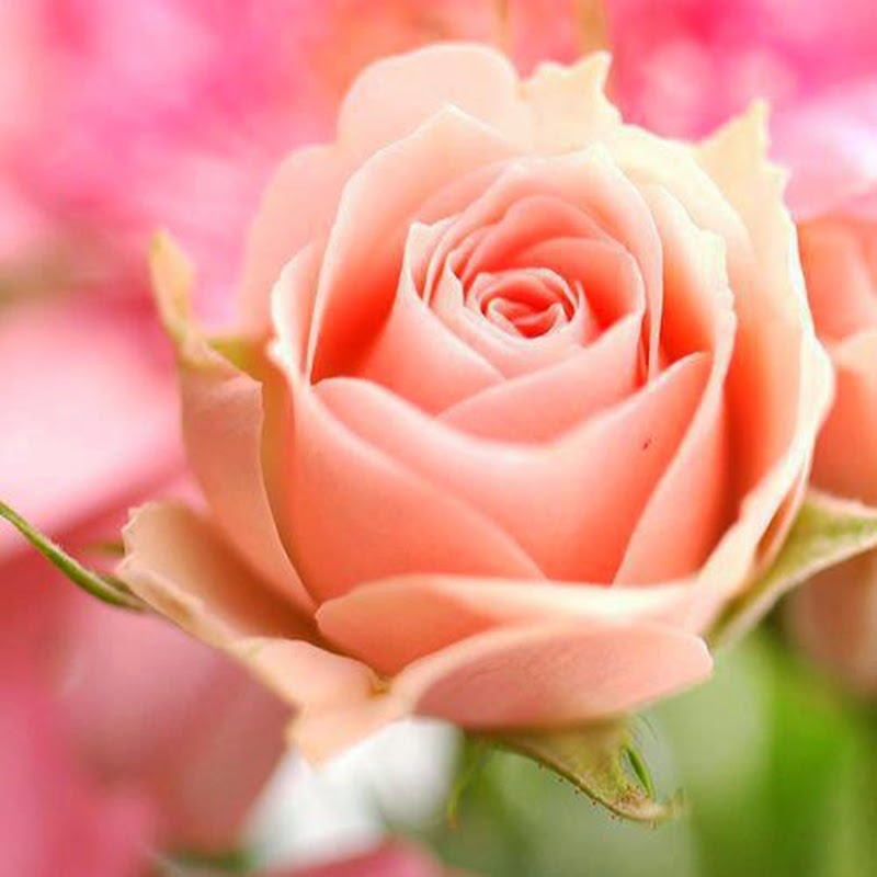Light Pink Rose Flower Picture Images