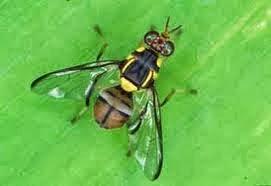 Lalat Buah (Bactrocera dorsalis)