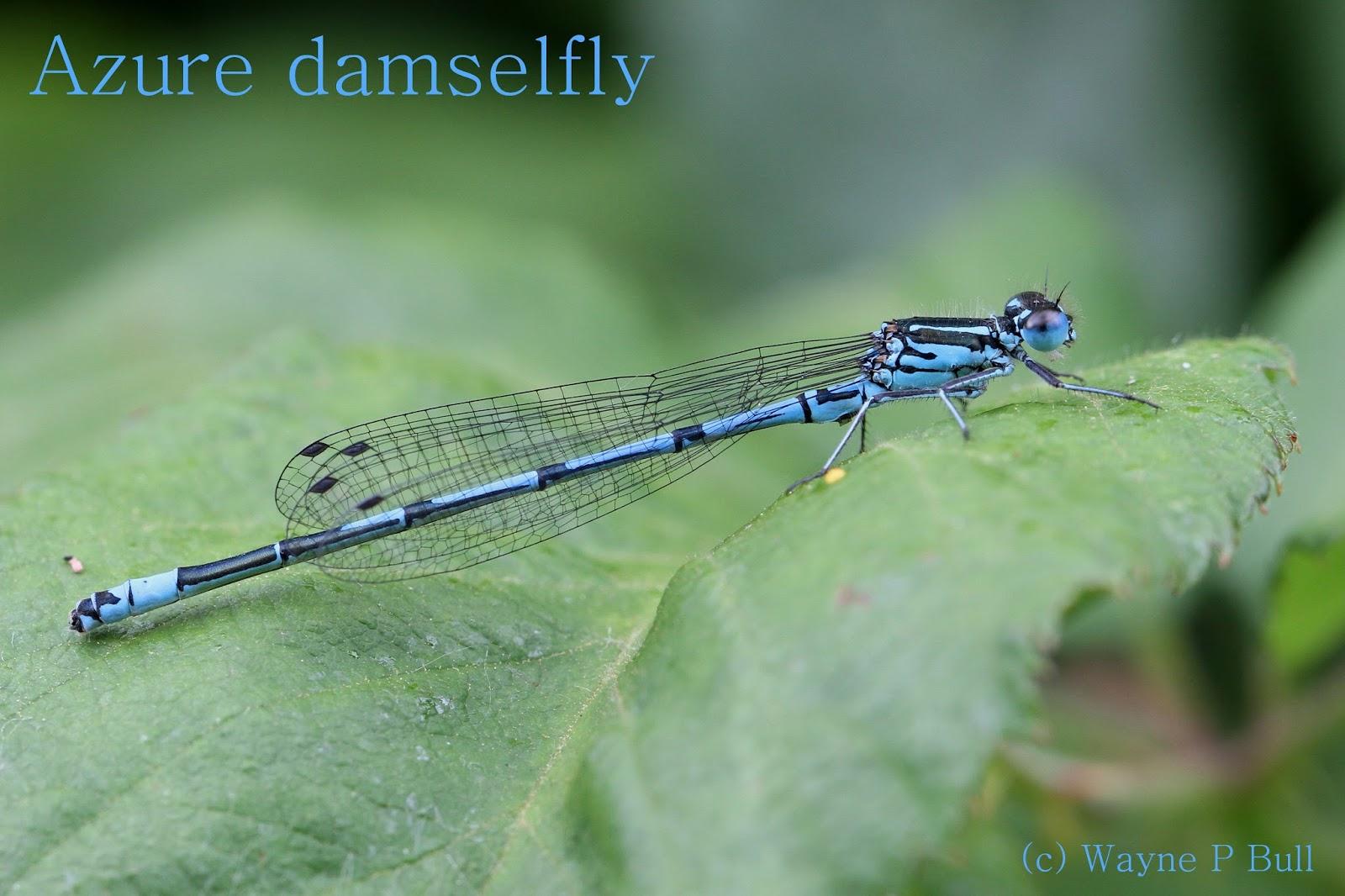 azure damsel flies fly - photo #24
