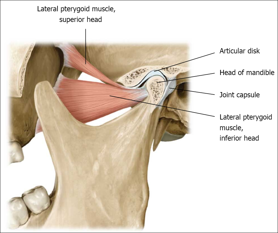 tmj dysfunction tmj dysfunction tmd and temporomandibular joint  : tmj anatomy diagram - findchart.co