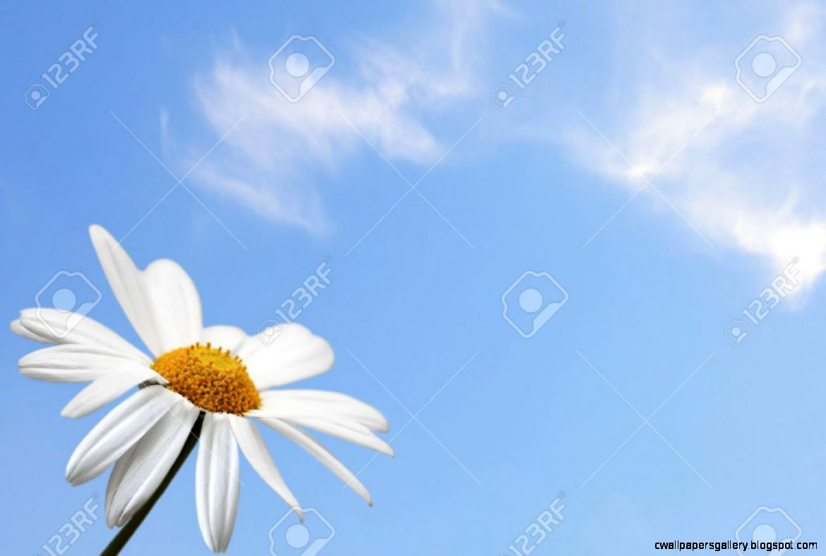 Daisy Single Flower On Blue Sky Background Stock Photo Picture