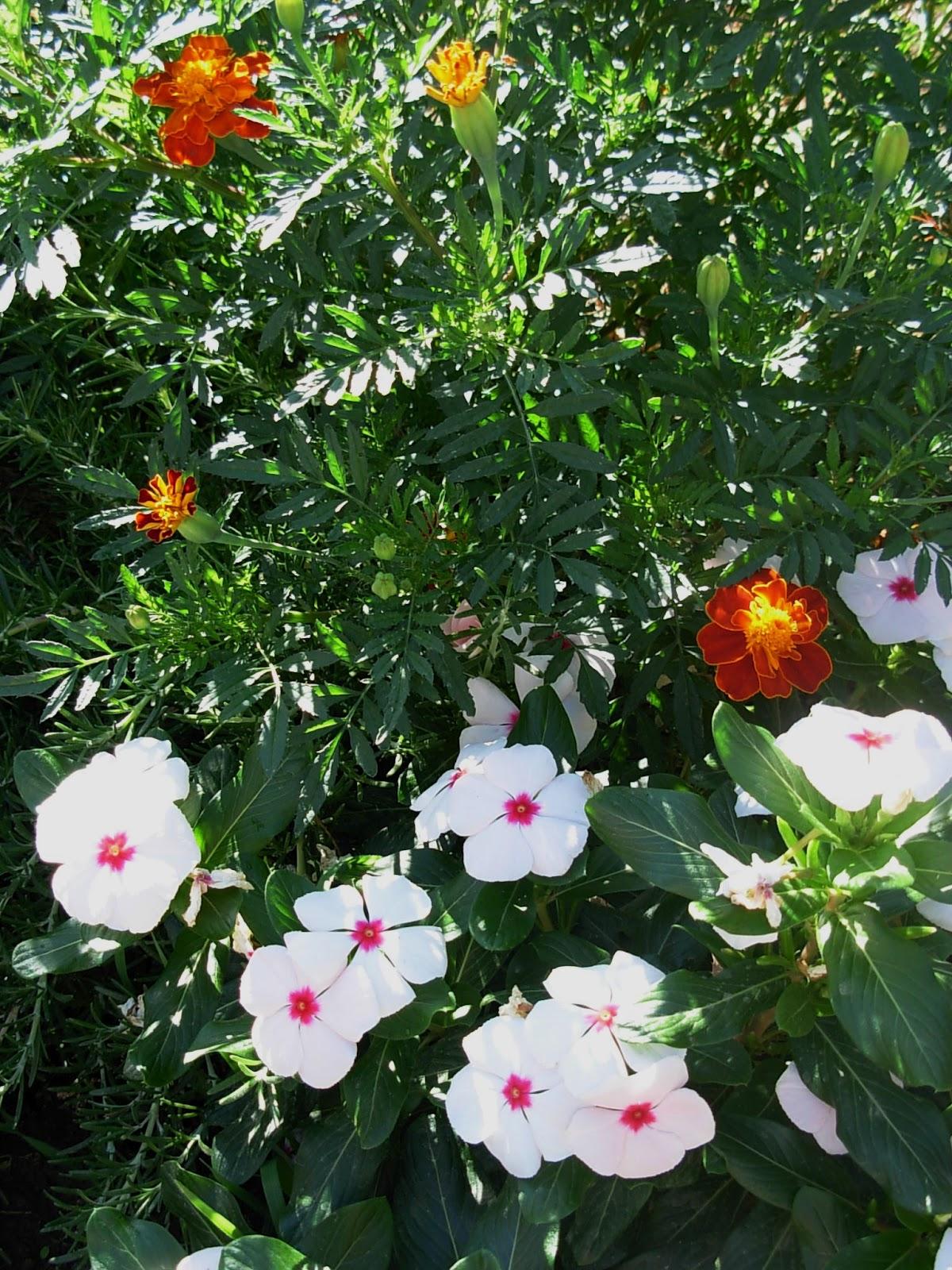 Plazanavaluenga septiembre en el jard n 2 tagetes for Chino el jardin