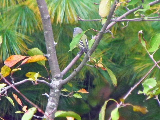 blue headed vireo two