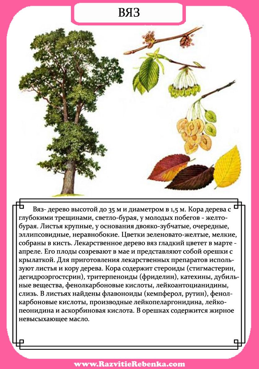 знакомство с деревом в картинках 2 3лет
