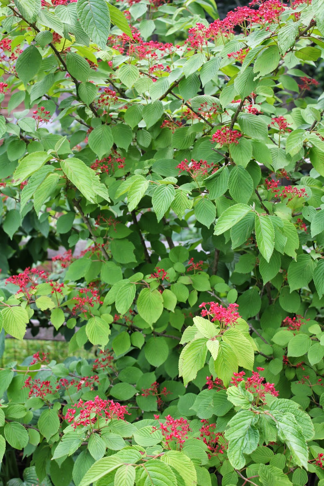 Landscaping Shrubs With Red Berries : Gardening and gardens what s blooming this month july
