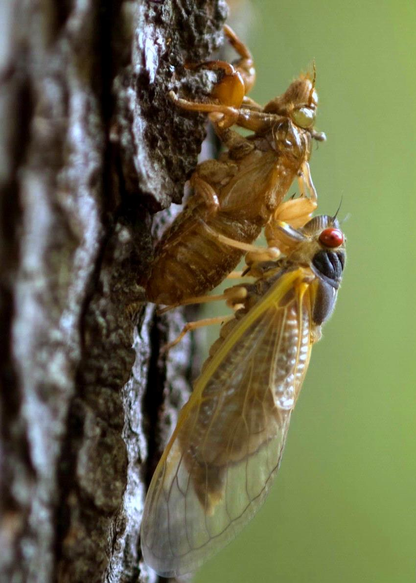 Displaying 18 gt images for cicada life cycle stages