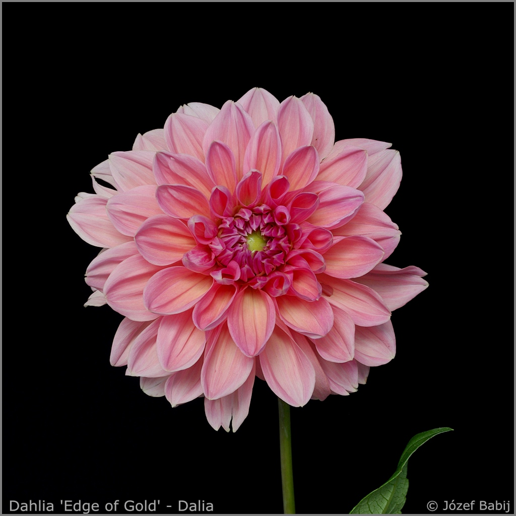 Dahlia 'Edge of Gold' - Dalia 'Edge of Gold'
