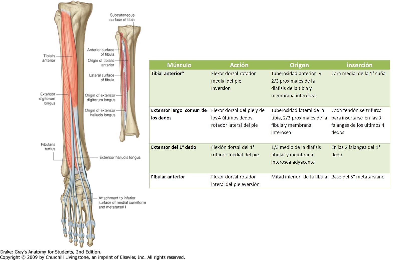 Anatomía UNAM: REGIÓN ANTERIOR DE PIERNA