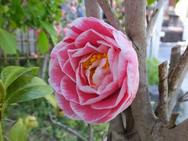 椿の花はヒカルゲンジ。