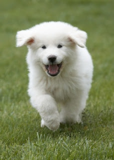 Great Pyrenees Puppy Pictures