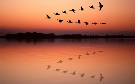 V-shape flying pattern of geese